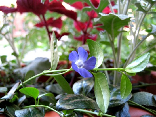 A single Vinca minor flower has opened. Senecio cineraria 'Silverdust' and Solenostemon hybrida 'Redhead' are in the background.